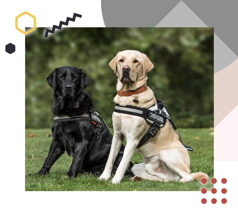 A photo showing 2 guide dogs sitting on grass